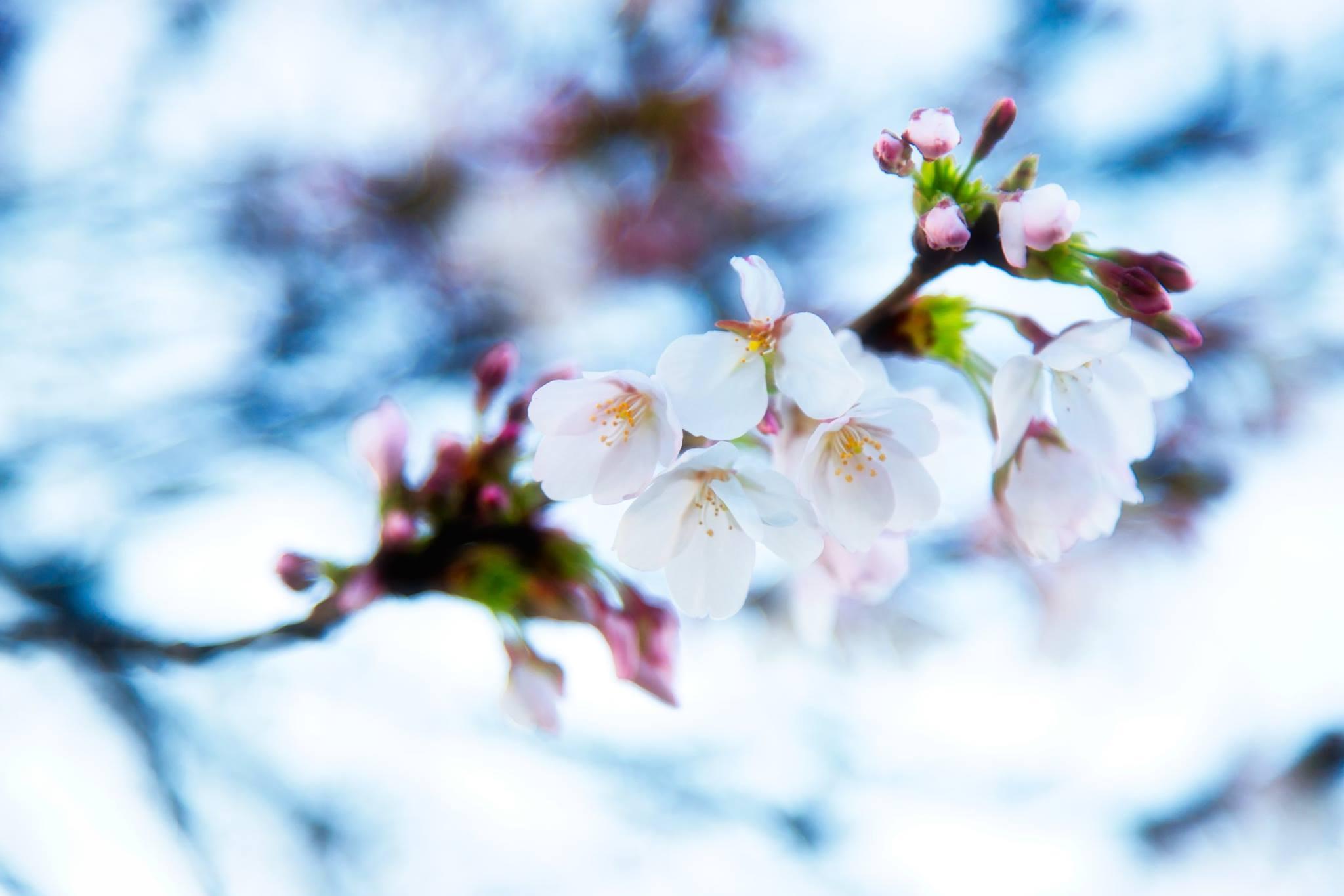 hanami blossom in rome